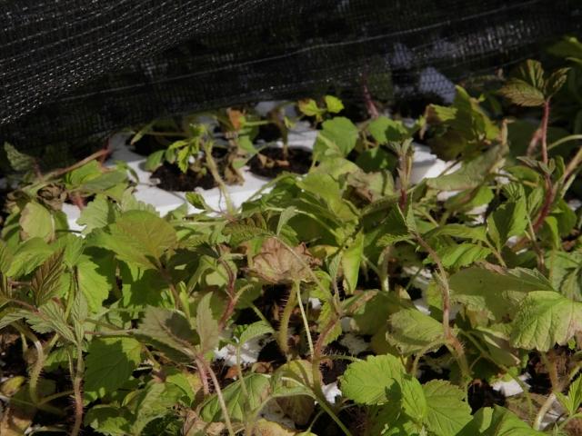 Промышленное производство голубики, ежевики и иных ягод открылось вНижегородской области