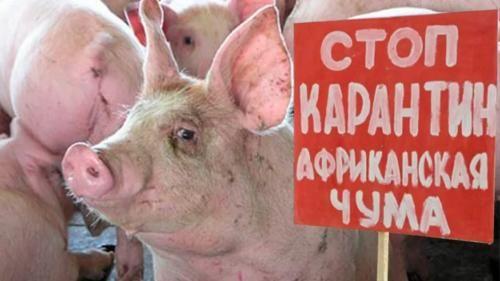 Борьбу сафриканской чумой свиней развернули вСамарской области