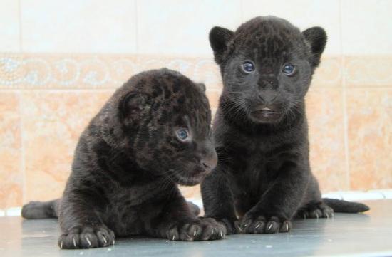 Взоопарке «Лимпопо» уягуара Наоми родились два чёрных котёнка