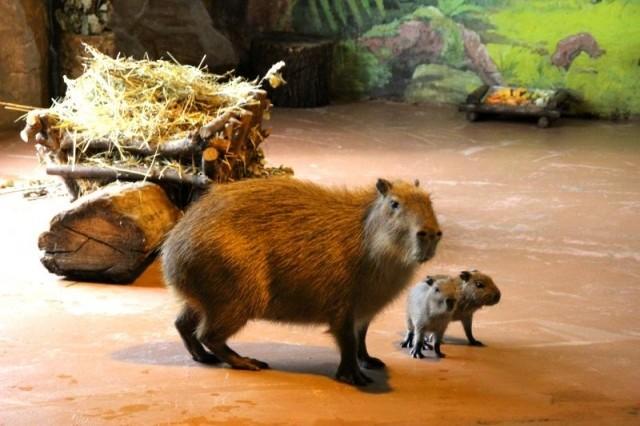 Две капибары идва дикобраза родились взоопарке «Лимпопо»