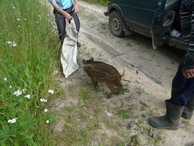 ВНижегородской области кабанов спасли изрук браконьеров
